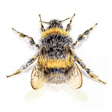 Bumble Bee - Art Print